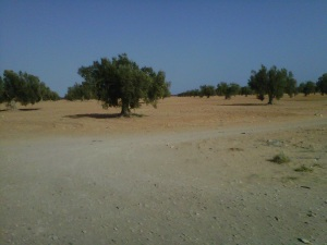 Olive trees as far as the eye can see. Yum